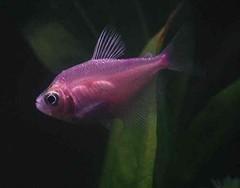 Pink Tetra in my tank