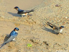 Swallows (hexion) Tags: bird birds japan minolta urbannature swallow aichi z1 konicaminolta konan