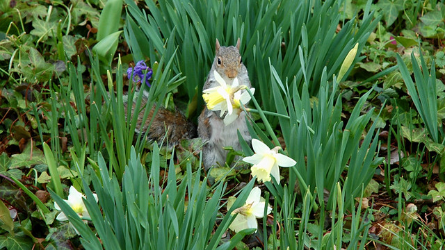 A squirrel in the garden
