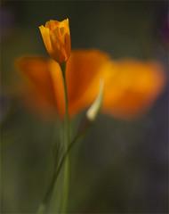 Poppy Bud (erin_designr) Tags: poppy flora flower macro orange sonora erinmalone canondslr eschscholtziacalifornica geotagged geolat37879288 geolon120303368