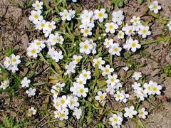 Borage -- Cryptantha? Plagiobothrys? (jillmotts) Tags: geotagged wildflowers borage fortord boraginaceae plagiobothrys fortordpubliclands crypthantha geo:lat=366377 geo:lon=1217650 jillmotts