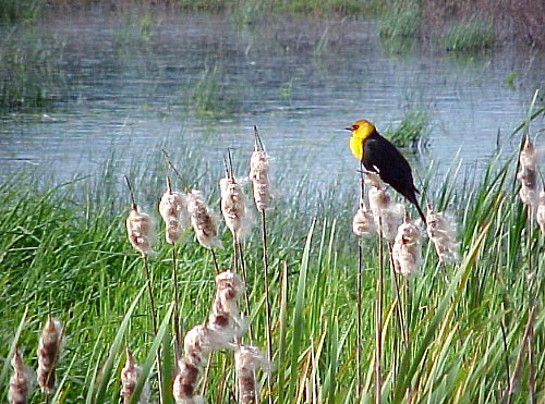 Yellow Headed Blackbird is Back