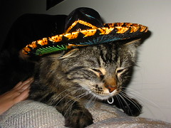 Mexican Jorge (st_gleam) Tags: cat snap mexican gato jorge catsinsombreros interestingcat cat1100