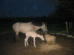 IMG_1222 (Glck/Nielsen) Tags: horse konik foal fohlen
