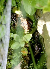 3 frogs in our pond (rbanks) Tags: frogs frog pond home