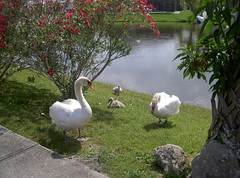 Cygnets (mwalters2004) Tags: cygnets swans nature wildlife