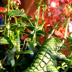 lurking (ranjit) Tags: diascia pink minigodzilla green godzilla