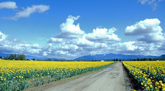 all roads lead to... (e X i t 1 3 p h o t o g r a p h y) Tags: road travel flowers sky flower colour topf25 field yellow clouds washington skagitvalley leadinglines saywa