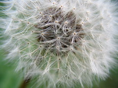 a dandelion flower gone to seed, very close up