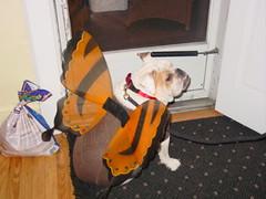 Nigel the Butterfly (amy_kearns) Tags: halloween dog dogs pet pets butterfly costume nigel english street outside trickortreat nj bulldogs amykearns brownsweater