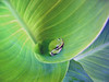 Leaf Life (Jeff Clow) Tags: macro green nature topf25 topv111 bravo quality been1of100 topc50 interestingness1 100v10f apex frogs verdeeamarelo kra05 top20hallfame itsongselection1 frosch oneyear weeklysurvivor gruen glueck blm1 incomparable itsongmacrocosmos itsong–canons500 top20frogs jeffclow magicdonkey 97points specanimal fcfrgstds diamondclassphotographer copyrightedbyjeffrclowallrightsreservednounauthorizedusageallowed frjrc