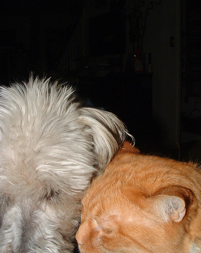 Henry (white terrier)  & Spike (orange cat) - heads together