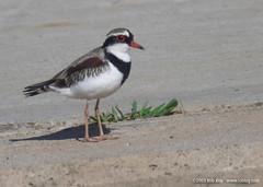243 Black-fronted Dotterel (RobRoyAus) Tags: bird geotagged lifelist australia 400mm australianbird geo:lat=33728971 geo:lon=150935787 flickrfly