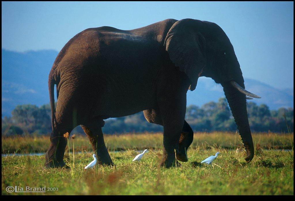 biggest land animal on earth - photo #7