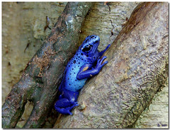 blue poison dart frog (Bravo_Kilo) Tags: blue animals catchycolors interestingness frogs poison poisondartfrog bluefrog