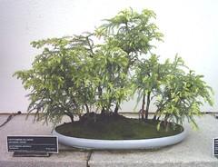 bonsai pictures