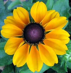 black-eyed Susan (mimbrava) Tags: flower macro nature topv111 closeup interesting topv333 mimbrava verdeeamarelo fv10 blackeyedsusan centralfocus setmyfavorites setflickrfavorites setflowersset1 setcatchycolors setinmacromode set64intop5001