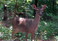 doe (mimbrava) Tags: nature wildlife doe deer mimbrava urbannature fromthedentistschair setwildcritters