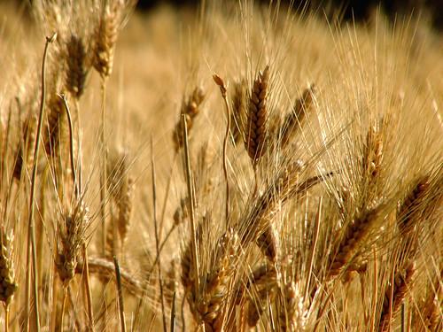 Wheat Growing Wild