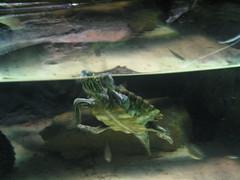IMG_0675 (David Breyer) Tags: newport aquarium newportaquarium kentucky turtle animals