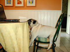Otis at the table (ick Harris) Tags: otis pug pugs fav10 utata:project=pets otistribute