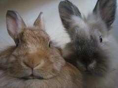 rabbit portrait (littlestudio) Tags: two portrait pets rabbit bunny bunnies rabbits potrait