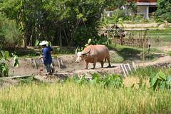 Get over here! (modus) Tags: thailand waterbuffalo chiangmai mandarinoriental