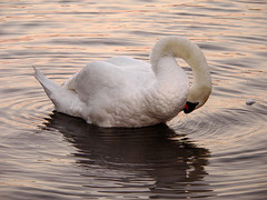 When I Think About You, I Touch Myself - The Divinyls (tarotastic) Tags: swan welsh harp reservoir london preen