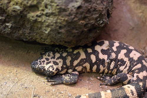 A resting Gila Monster lizard