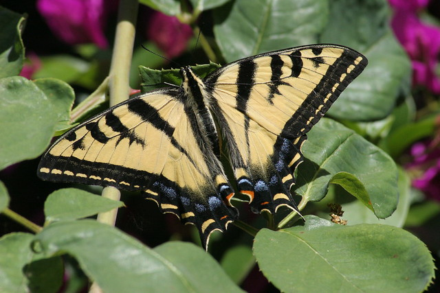 Swallowtail in the bouganvillea