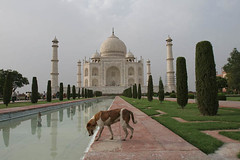 Dog at the Taj, Agra (Captain Suresh Sharma) Tags: travel people sculpture dog india white holiday inspiration reflection building tower art heritage tourism monument water beauty grave animal architecture river spectacular wonder landscape spiral fun outside religious coast boat wooden site asia tour exterior symbol 17thcentury indian muslim islam famous small religion tomb towers young culture taj mahal agra social landmark visit icon tourist carving safety unesco mausoleum pollution memory dome burial destination historical marble pillars hindu hinduism carvings banks attraction sculpted sevenwonders oldtimes shahjahan mughal moghul minarette mumtaz yamuna famed mumtaj mausuleum
