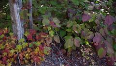 Compare & Contrast Fall Foliage - IMGP6693 (catchesthelight) Tags: fallfoliage hobblebush moosbush multicolored red orange yellow green purple bluesky trees leaves autumn colors colorful fall harvest fightcabinfever florashow newengland newhampshire leafpeeping moosebush 2setsofleaves viburnumalnifolium texture wings plant autumncolors witchhobble shrubs viburnumlantanoides nh native