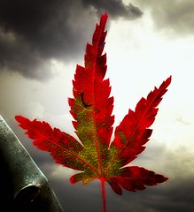 Deliverance (hurleygurley) Tags: red sky storm green clouds 1025fav wow leaf interestingness maple dramatic manipulation grace explore bark r mf bo tall cinematic rgb iconic hg hurleygurley botanica redemption deliverance rgb1 utatared elisabethfeldman faveset nuccoc