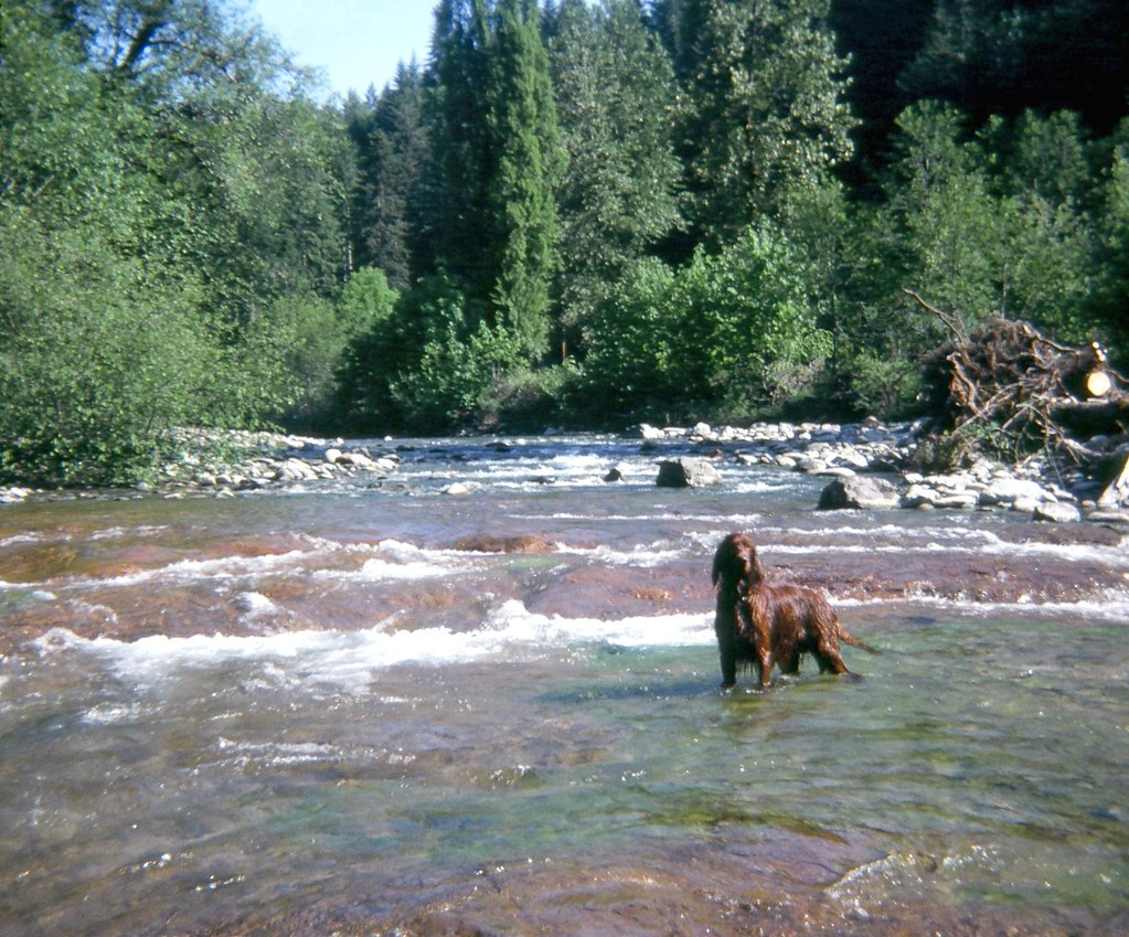 67410003 Reilly, the Irish Setter, in Middle of Brice Creek, Disston, Oregon, USA