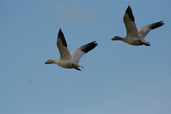 IMG_7844.jpg (wildorcaimages) Tags: birds snowgeese