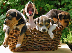 """Seriously...Are We Almost Done Here?!"" (Rachel Pennington) Tags: puppies yawn sleepy tired beagles jackrussell beagle canines dog paws adorable"