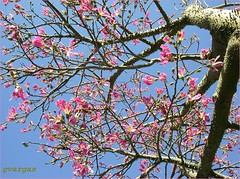 Paineira ( Graa Vargas ) Tags: 2005  flower tree all rights vargas silkflosstree reserved graa paineira backgroundsky chorisiaspeciosa graavargas 34403220510 2005graavargasallrightsreserved
