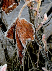 Dusted with ice... (Katpix) Tags: leaves leaf frost hoarfrost katpix kmo