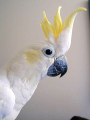 Bubba (Sulfur-Crested Cockatoo)