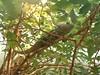 Chameleon (engelcox) Tags: sunlight green animal branches amphibian chameleon