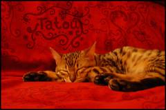 tatou (.}i{. laureski kolaure) Tags: cats cat kitten chat photos kittens spots gato spotted bengals pounce bengal tautou chaton tatou