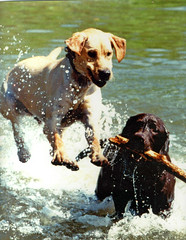 """Bo"" was unaware that ""Finnigan"" was about to pounce! (Rick Leche) Tags: dogs water whimsy action labradors havingfun stopaction itsadogslife interestingness93 lifeisfun themoreimeetpeoplethemoreilikedogs i500 2006t20"