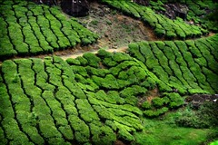 More Fields of Tea (halfgeek) Tags: india colour green tea kerala badge plantation munnar pleasantlytilted