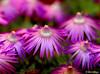 Late Afternoon Purple (Martin_Heigan) Tags: camera winter light flower color colour macro nature digital southafrica succulent nikon dof close purple martin bokeh july photograph d200 dslr speedlight sb800 aizoaceae 60mmf28micro bokehphotooftheday nikonstunninggallery heigan bokehsoniceaugust abigfave bokehsoniceaugust11 p1f1 wsnbg mhsetsucculents mhsetuntouched mhsetbokeh mhsetflowers