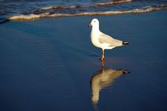 Seagull (ozczecho) Tags: ocean light reflection bird beach swimming ilovenature surf nikond70 seagull sydney narrabeen ozczecho seagullsafaripool