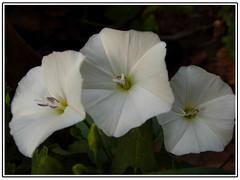 white flowers   (aZ-Saudi) Tags: white flower rose arabic saudi arabia ksa   alhasa     arabin arabs