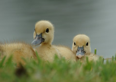 2 Little Ducklings (lynne bernay-roman) Tags: cute soft ducklings siblings naturesfinest specanimal animalkingdomelite avianexcellence pet500