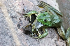 It's a frog eat frog world by Mark Surman