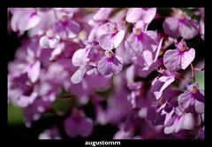 Wild orchid (Augusto Miranda Martins) Tags: flowers brazil flower macro brasil d50 nikon sigma apo 70300mm dg goiania goias