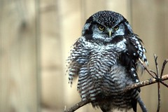 Chouette pervire / Northern Hawk-Owl (meantux) Tags: desktop wallpaper bird 800x600 ilovenature psp background widescreen owl 169 fond desktopwallpaper 1920x1200 cran 1610 chouette 1440x900 1024x768 ecomuseum 1280x768 northernhawkowl 1280x1024 fonddcran 1680x1050 480x272 1280x800 1920x1080 chouettepervire